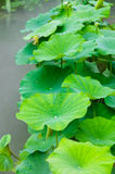 Green lotus leaves Royalty Free Stock Photo