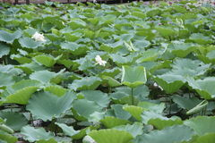 Green lotus leaves Royalty Free Stock Images