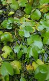 Green lotus leaves in watery pond, selective focus. Green lotus leaves in watery pond Stock Photography