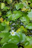 Green lotus leaves in watery pond, selective focus Stock Image