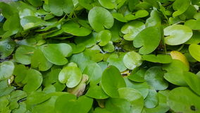 Green lotus leaves in watery pond. With watery surroundings Stock Photos