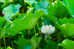 Green lotus leaves and white lotus flowers in the sunshine Royalty Free Stock Photo