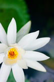 Green lotus plants in Asia royalty free stock photos