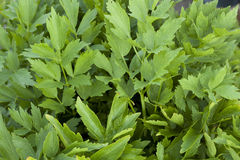 Green lovage Stock Photos