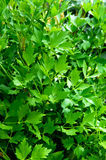 Green lovage - lat name Levisticum officinale Stock Image