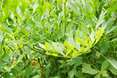 green lovage leaves Stock Photography