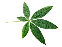 Green lucky bamboo leaves. Green leaves with white background.  The leaves are from lucky Bamboo.  In Chinese, it means lucky and wealthy Royalty Free Stock Photography