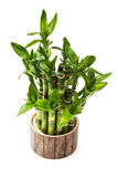 green lucky bamboo plant Royalty Free Stock Photography