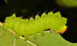 Green luminescent Polyphemus caterpillar on a leaf royalty free stock photography