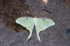 Green Luna Moth. On granite surface Royalty Free Stock Photos