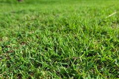 Green luscious grass. Nature background, green luscious grass royalty free stock photo