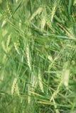 Green lush barley and flowering grass. Royalty Free Stock Photos