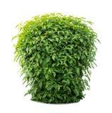 Green lush bushes Stock Images