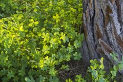 Green lush clover near the old Pine tree in the spring Forest. Top View. Conceptual Spring Background Royalty Free Stock Image