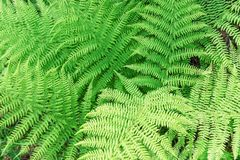 Green lush fern. As a texture Stock Photography