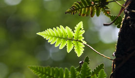 Green lush ferns Royalty Free Stock Photography