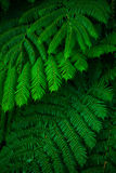 Green lush ferns growing in wild rain forest of Australia Stock Image