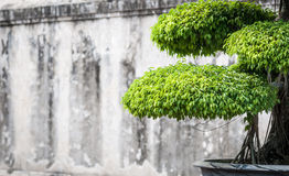 Green lush foliage of bonsai in sunny weather. Royalty Free Stock Photography
