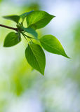 Green lush foliage of tree on a blur backgrounds Royalty Free Stock Photography