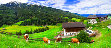 Green lush meadows - cow's pasture, Alpine scenery. Dolomites mo stock photos