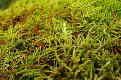 Green lush moss close up growing on the ground in the forest, small vegetation. Bright furry green stock image
