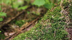 Green lush moss macro shot. Extreme close up of green moss growing on pine tree roots shot from ground level. Shallow depth of field stock video footage
