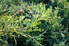 Green lush needles of evergreen creeping shrub Juniperus sabina. stock images