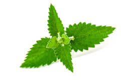 Green and lush nettle. On white background royalty free stock photography