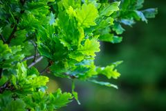 Green lush oak tree leaves royalty free stock photo