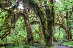 Green lush plants of temperate rainforest at Olympic National Park Washington USA Royalty Free Stock Photography