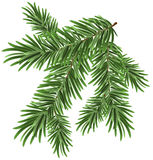 Green lush spruce branch. Fir branches Stock Photo