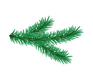 Green lush spruce branch. Fir branches. Isolated illustration in vector format.  Stock Image
