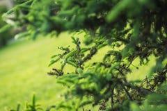 Green lush spruce branch. Fir branches. Spruce tree branch detai Stock Photo