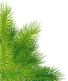 Green lush spruce or pine branch. Fir tree branch isolated on white  christmas element. Website and mobile app design Royalty Free Stock Image