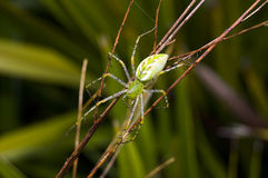 Green Lynx Spider Stock Images