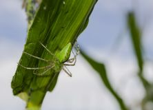 Green Lynx Spider On Corn Leaf stock photography