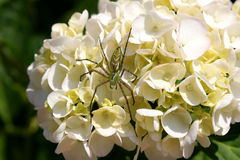 Green lynx spider on hydrangea. A large Green Lynx spider rests on a white Hydrangea flower Royalty Free Stock Photography