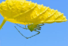 Green Lynx Spider, Peucetia viridans Stock Image