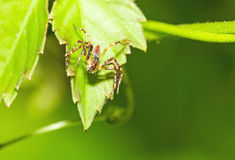 Green Lynx Spider (Peucetia viridans, Green Lynx Alabama) waitin Royalty Free Stock Image