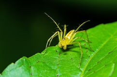 Green Lynx Spider Peucetia viridans, Green Lynx Alabama Stock Photos