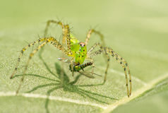 Green Lynx Spider Royalty Free Stock Photography