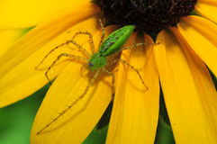 Green Lynx Spider  (Peucetia viridans) Stock Photo