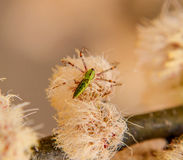 Green Lynx Spider Royalty Free Stock Image