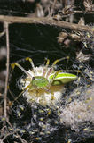 Green lynx spider and young offspring Stock Photos