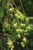 Green lychee fruit Royalty Free Stock Photography