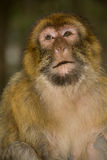 Green macaque monkey Stock Photography
