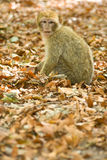 Green macaque monkey Stock Image
