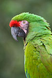 Green Macaw. Close-up bird portrait of Great Green Macaw, Ara ambiguus Stock Photo