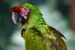 Green Macaw. A green macaw Royalty Free Stock Photo