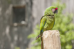 Green macaw Stock Photography